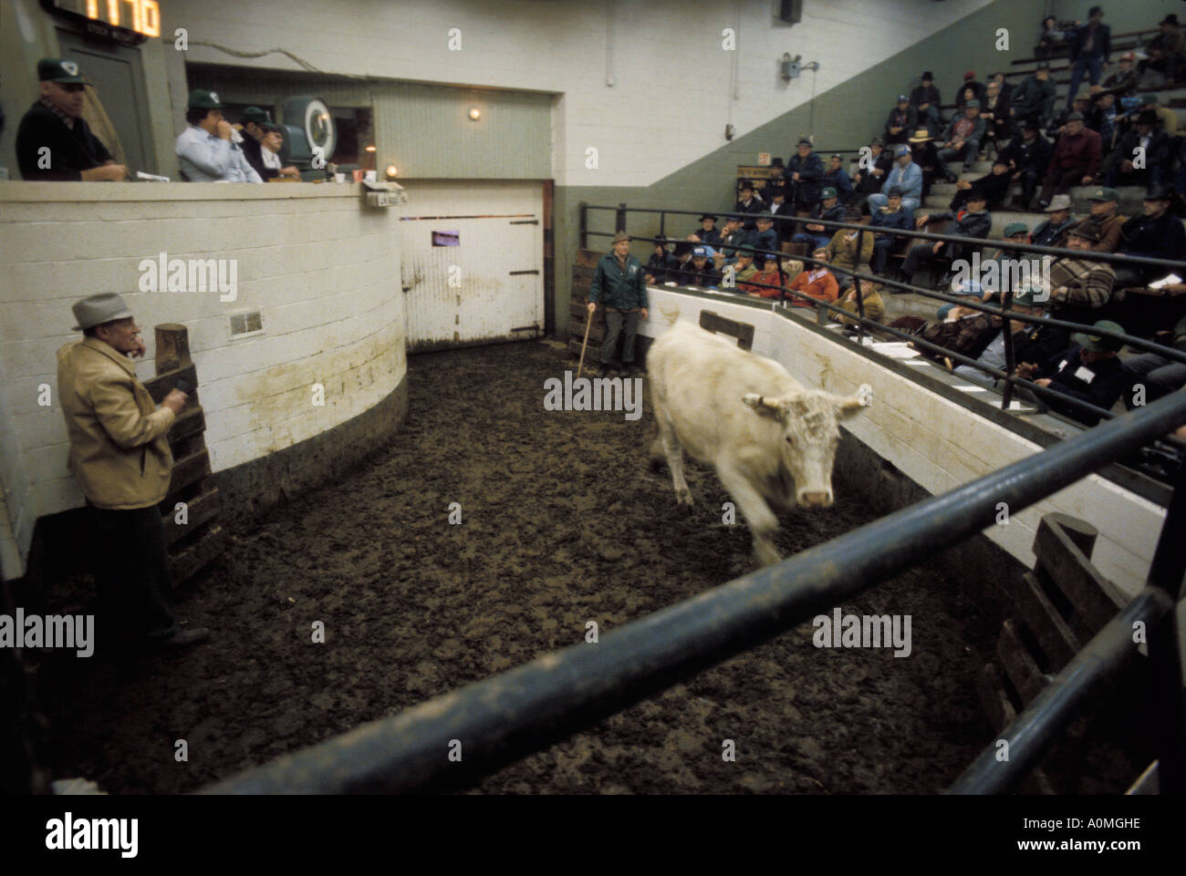 livestock auction ring stock yards Lancaster PA Pennsylvania