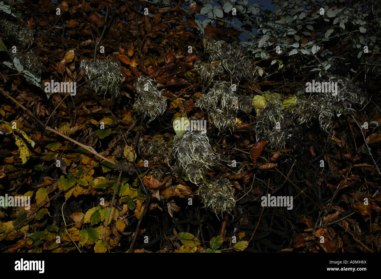 Old mans beard in a Devon hedgerow - all that remains of some wild clematis after the summer flowers have died - Stock Image