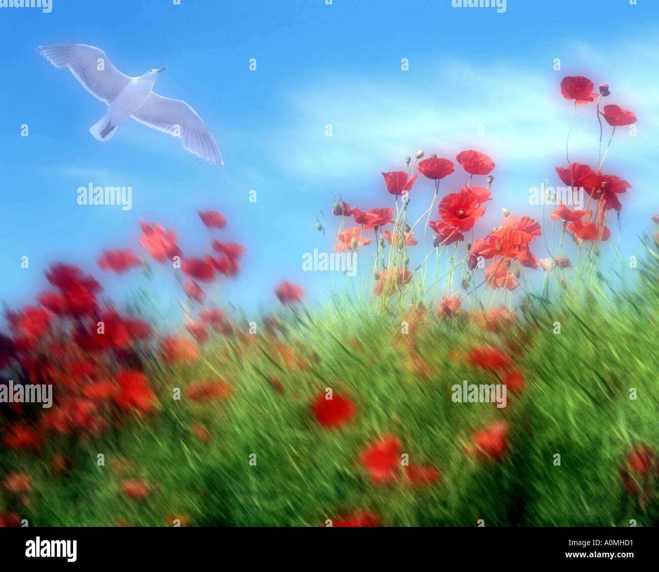FLORA: Red Poppies - Stock Image