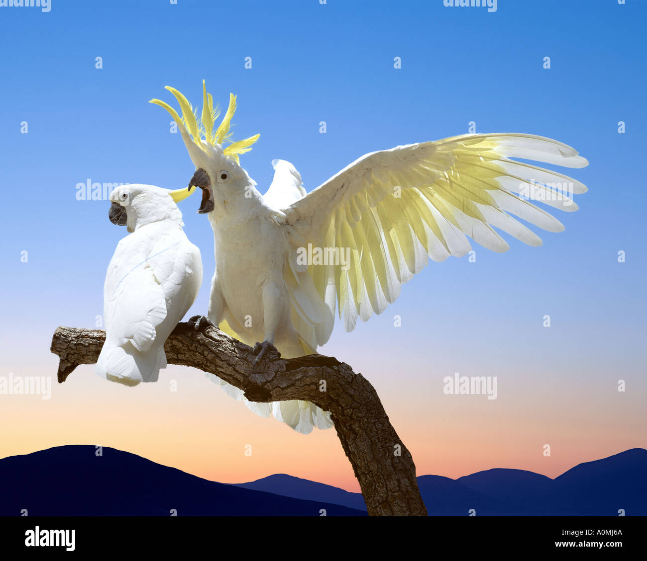 AU - NEW SOUTH WALES: Sulphur Crested Cockatoos - Stock Image