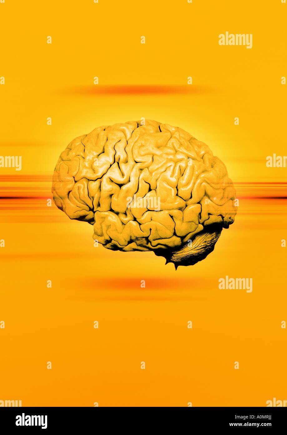 brain Gehirn - Stock Image