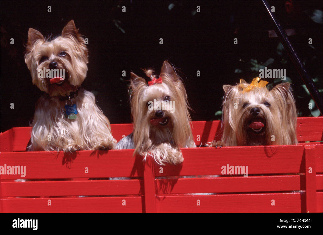 Dog Yorkshire Terrier Yorkie Yorkies In Child S Toy Red Wagon Pr 243