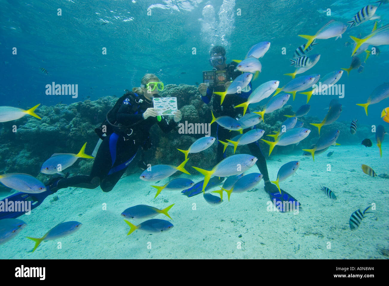Divers (MR) with fish identification book/ card, Palau, Micronesia. - Stock Image