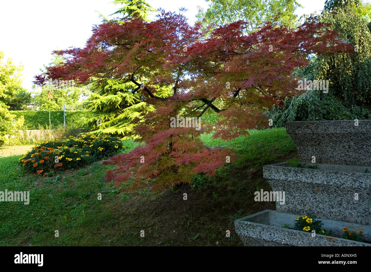 Maple Tree Leaves Garden Little Dwarf Trees Green Red Site Stock ...