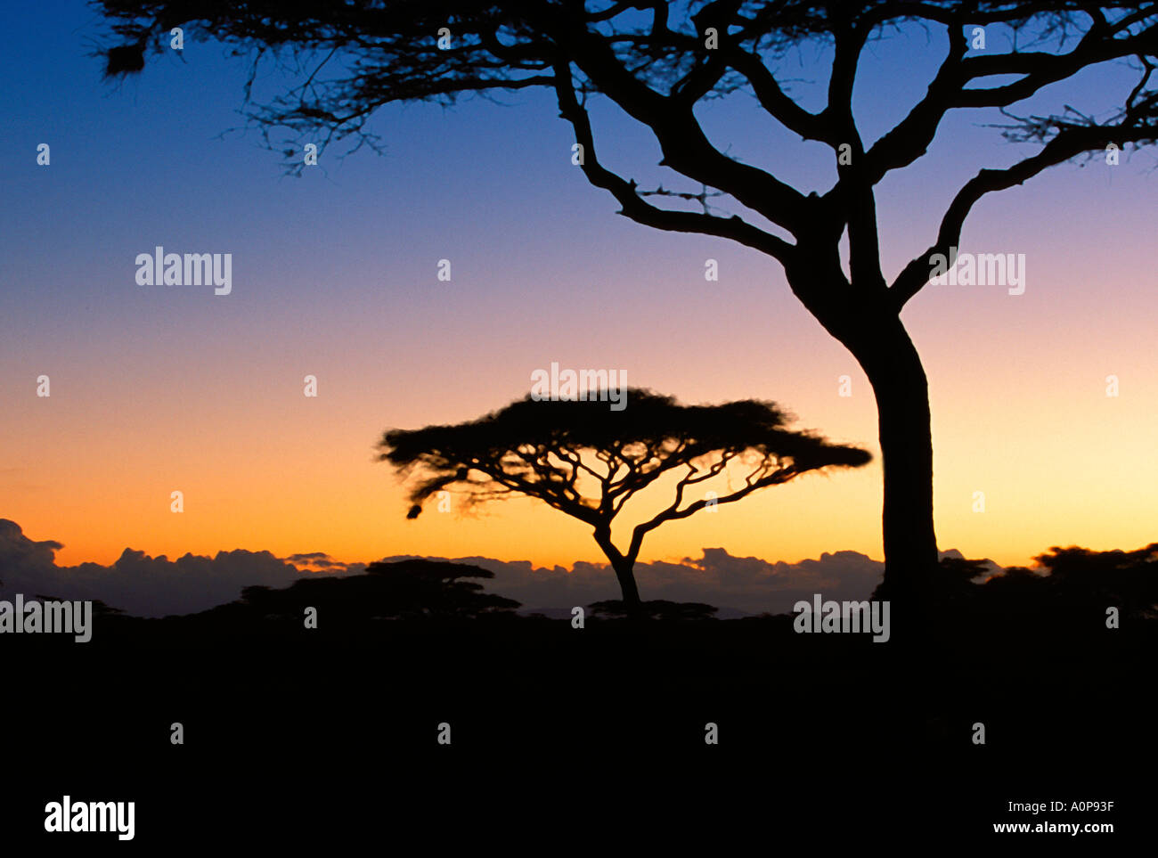Acacia trees in the Serengeti National Park, Tanzania, Africa - Stock Image