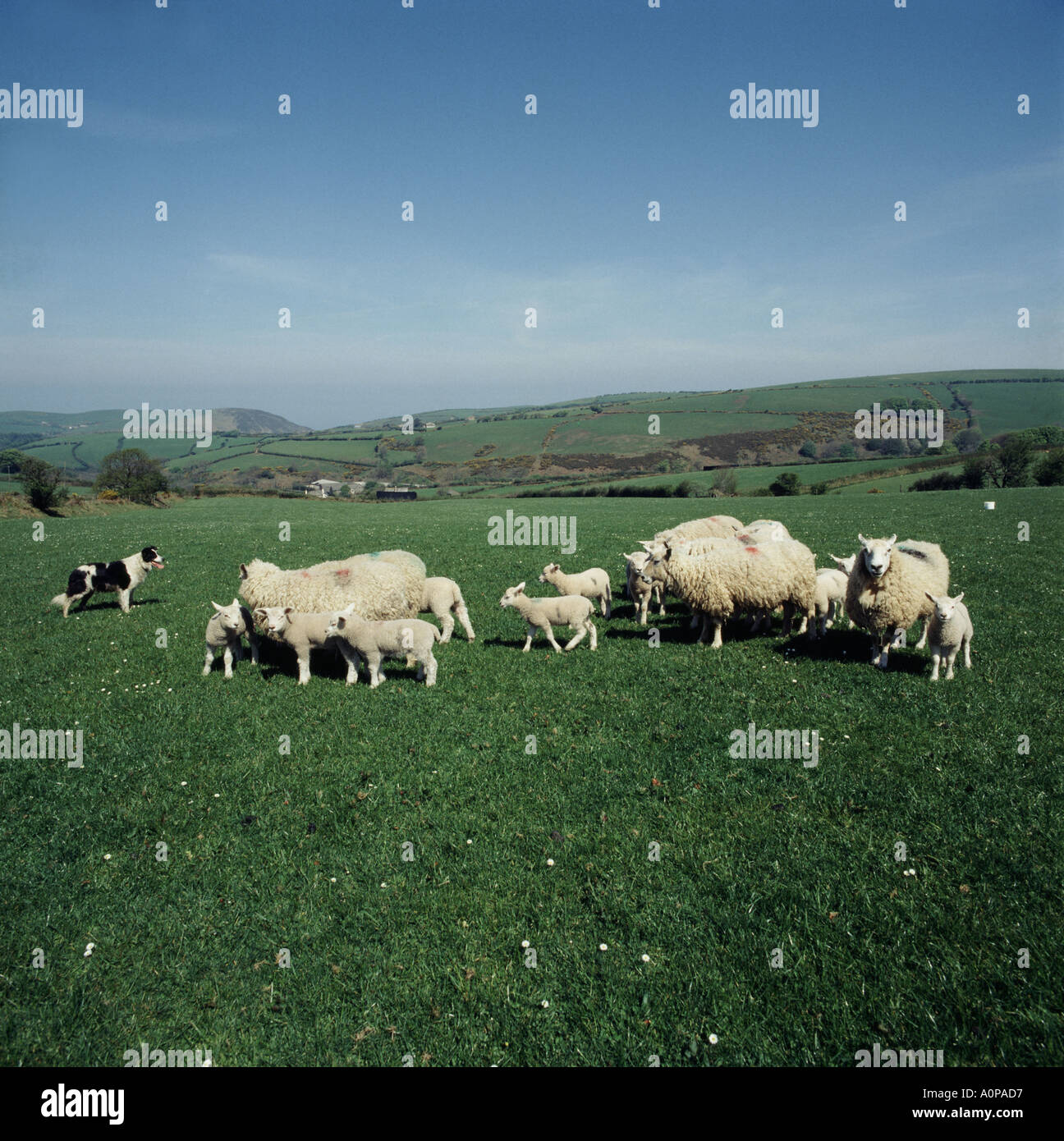 Sheep dog controlling lambs and sheep on Exmoor Somerset Exmoor Horn sheep and blue faced Leicester ram - Stock Image