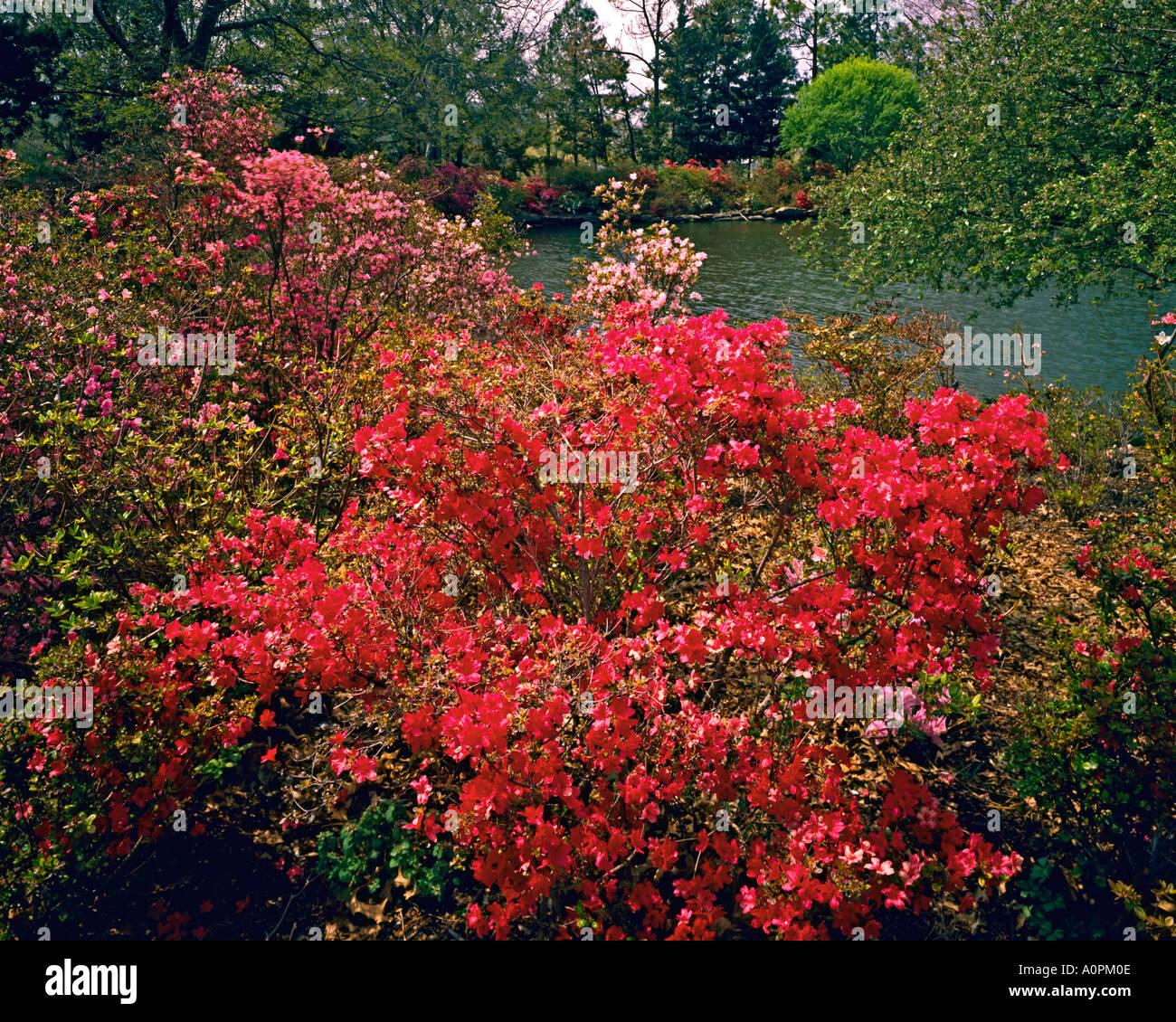 Azalea Blooms in Spring Muskogee Oklahoma Stock Photo