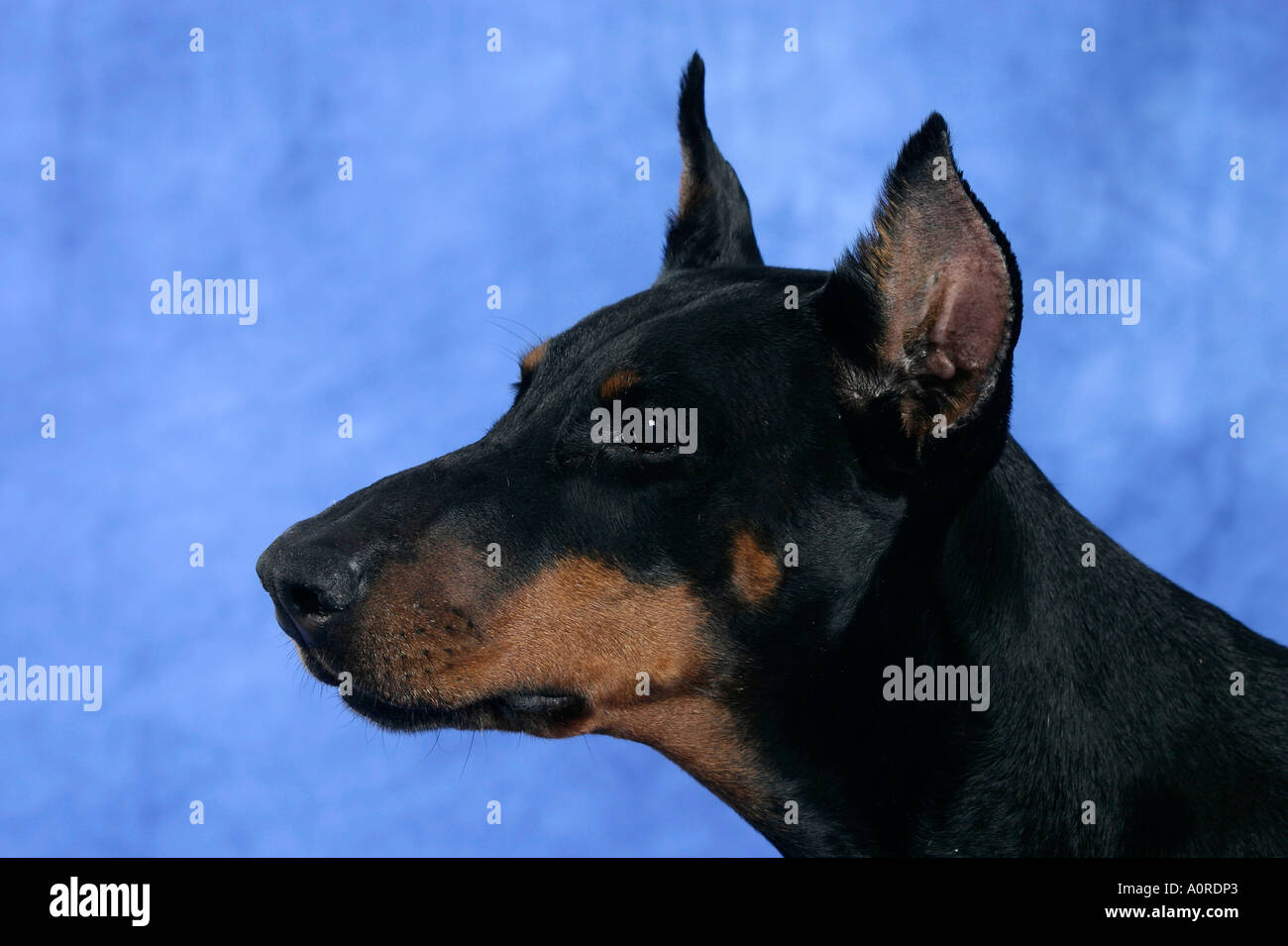 Doberman Pinscher / Dobermann Stock Photo