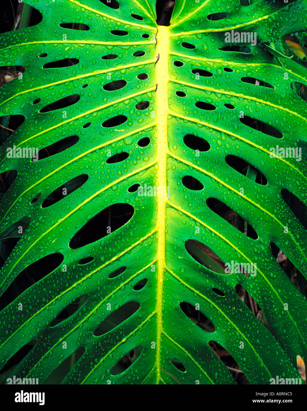 Monstera Plant in Rain Iao Valley State Park Maui Hawaii - Stock Image