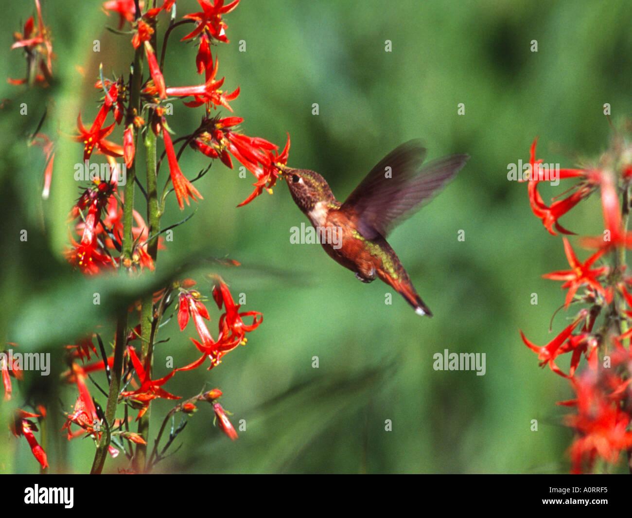 Rufous Hummingbird taking nectar from Skyrocket Gilia Blair Meadows Willamette National forest Oregon 157508U  - Stock Image