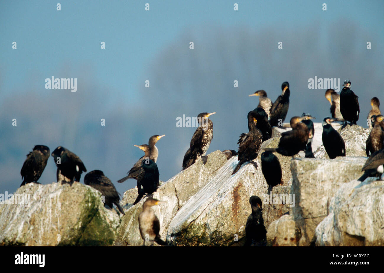 Cormorant / Kormoran - Stock Image