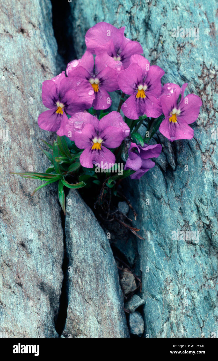 Duby's Pansy / Dubys Veilchen - Stock Image