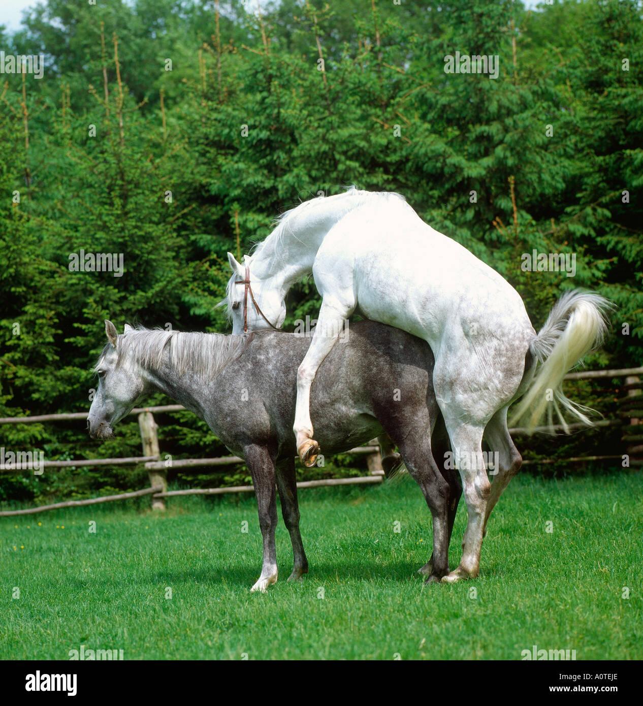 Horses Mating Stock Photos & Horses Mating Stock Images ...