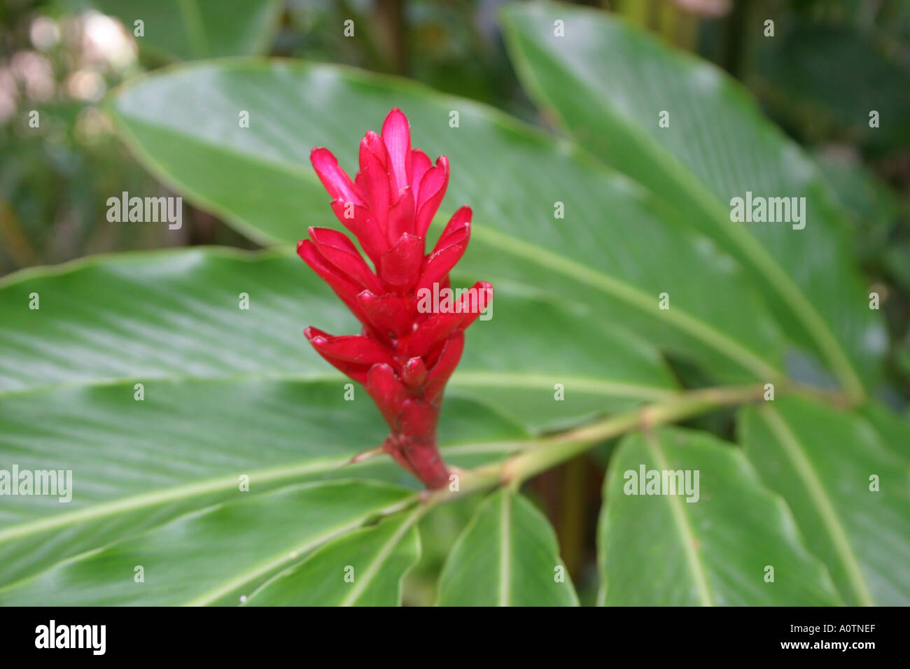 Ginger flower bud stock photos ginger flower bud stock images alamy young red ginger flower growing at end of leafy stalk hawaii stock image izmirmasajfo Gallery