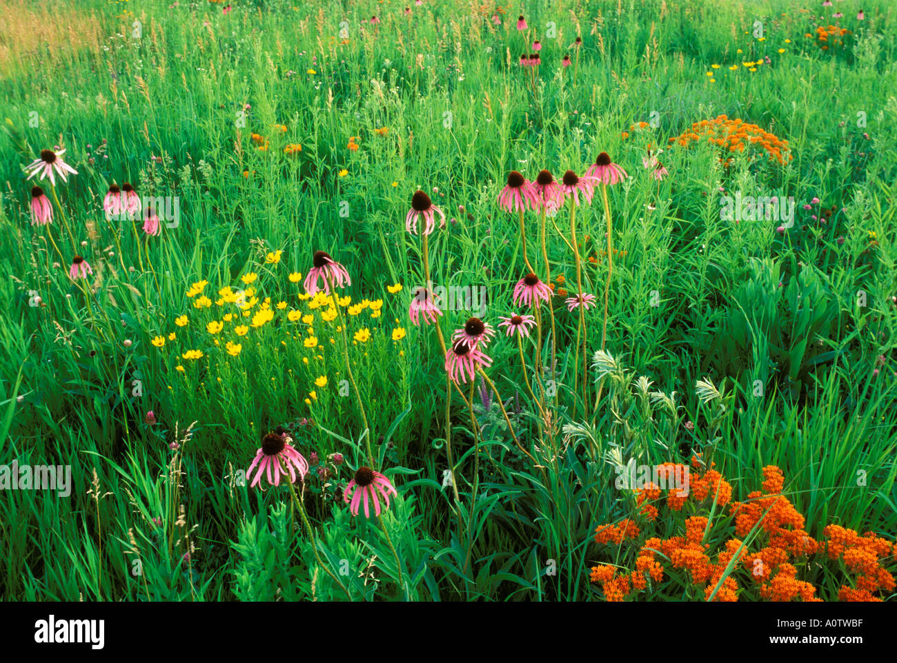 Pale Purple coneflowers butterfly weed and leadplant in a Prairie Restoration Glacial Park - Stock Image