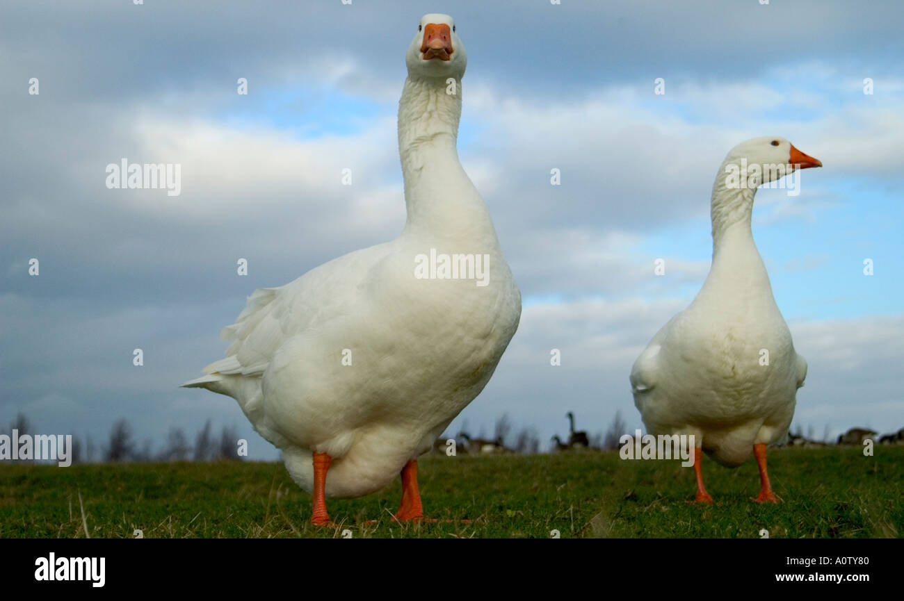 Two geese shot from low angle. - Stock Image