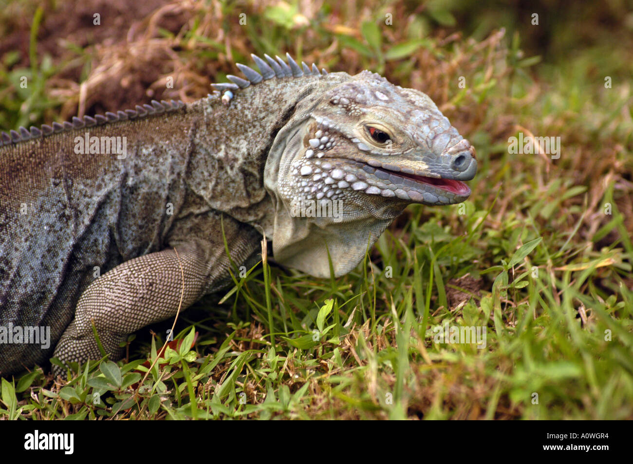 Caribbean Animals: Blue Iguana And Cayman Islands Stock Photos & Blue Iguana