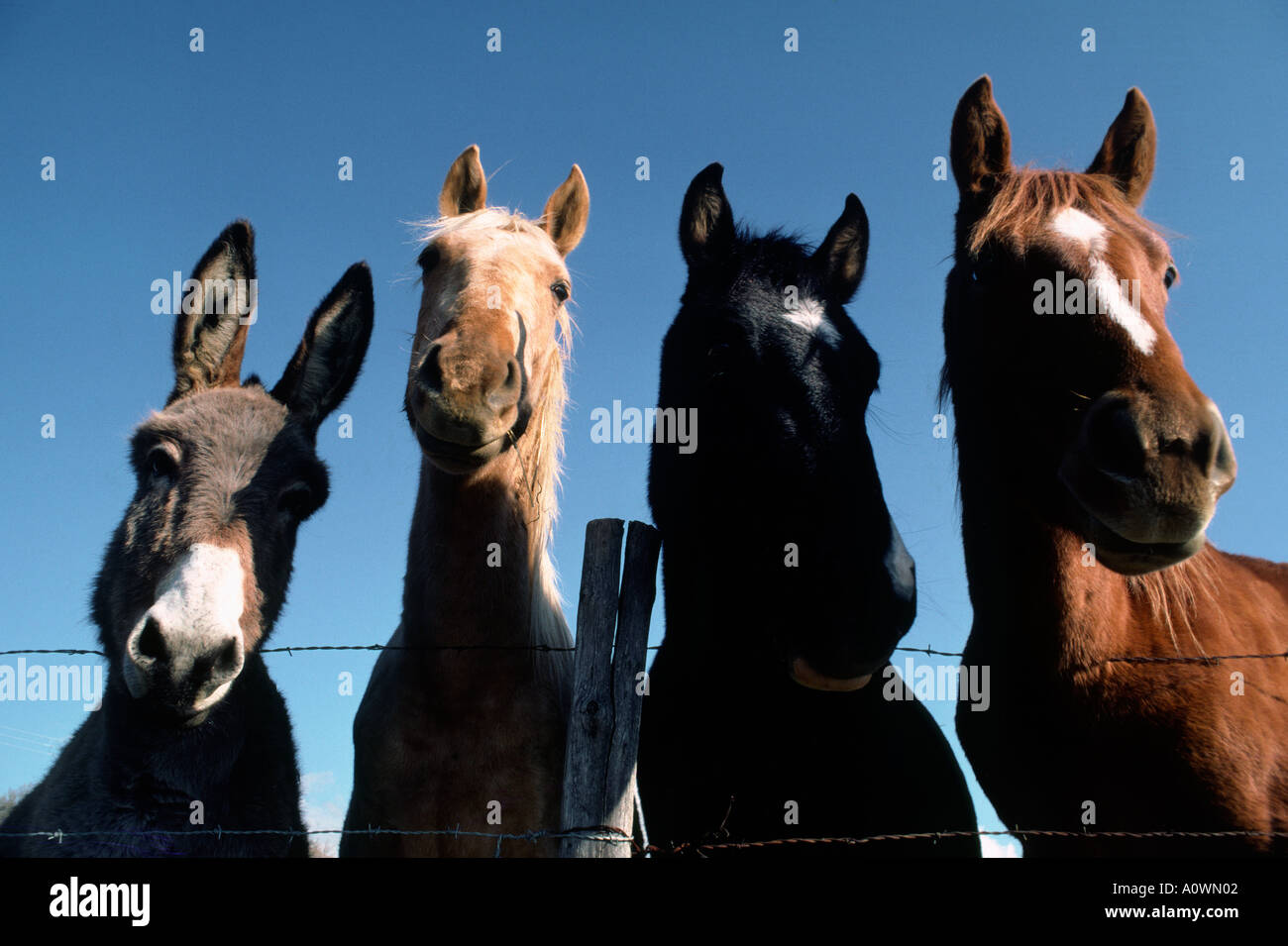 A donkey and three horses together look over a barbed wire fence ...