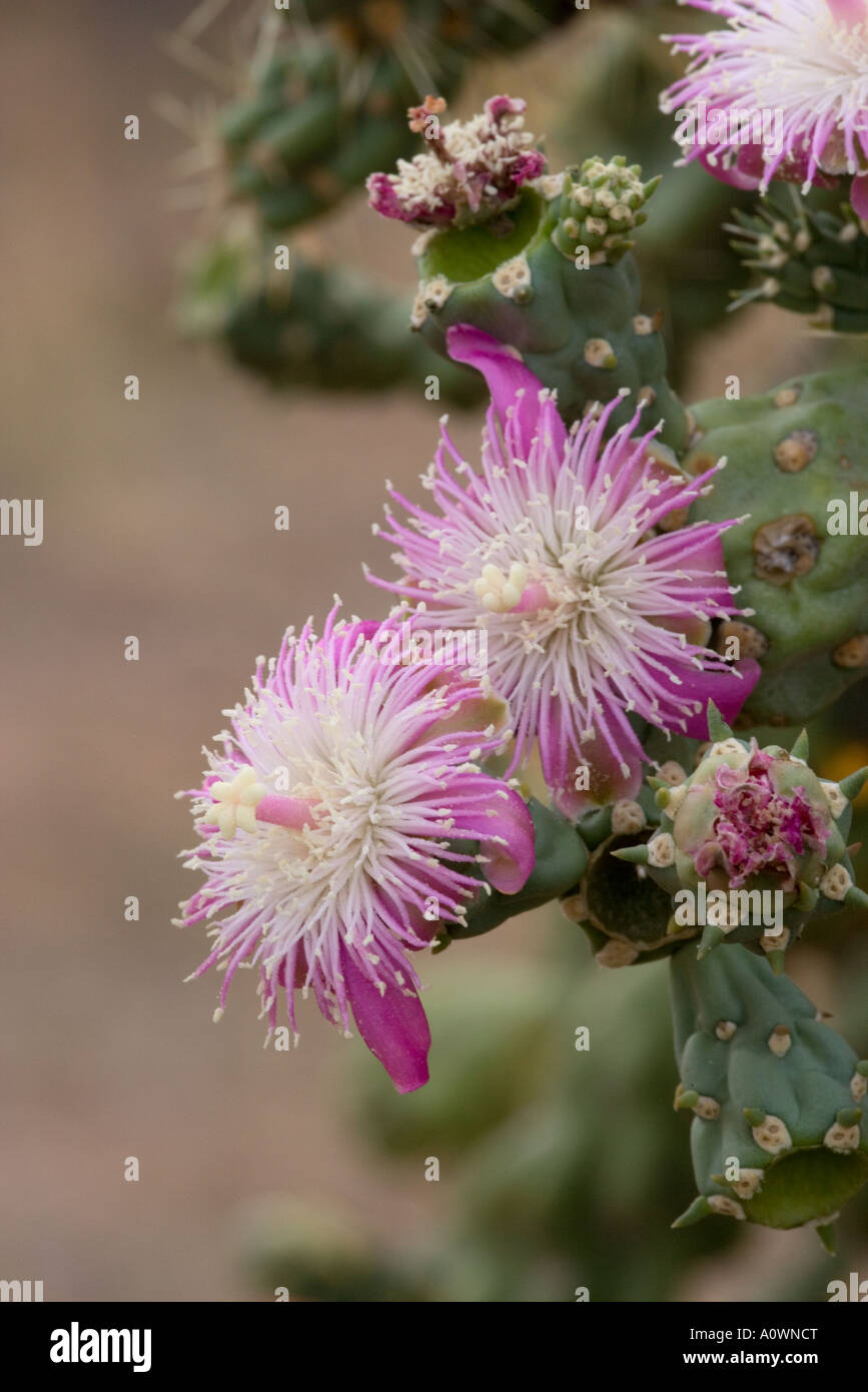 Chain Fruit Cholla Cactus Blossom Opuntia fulgida Arizona - Stock Image