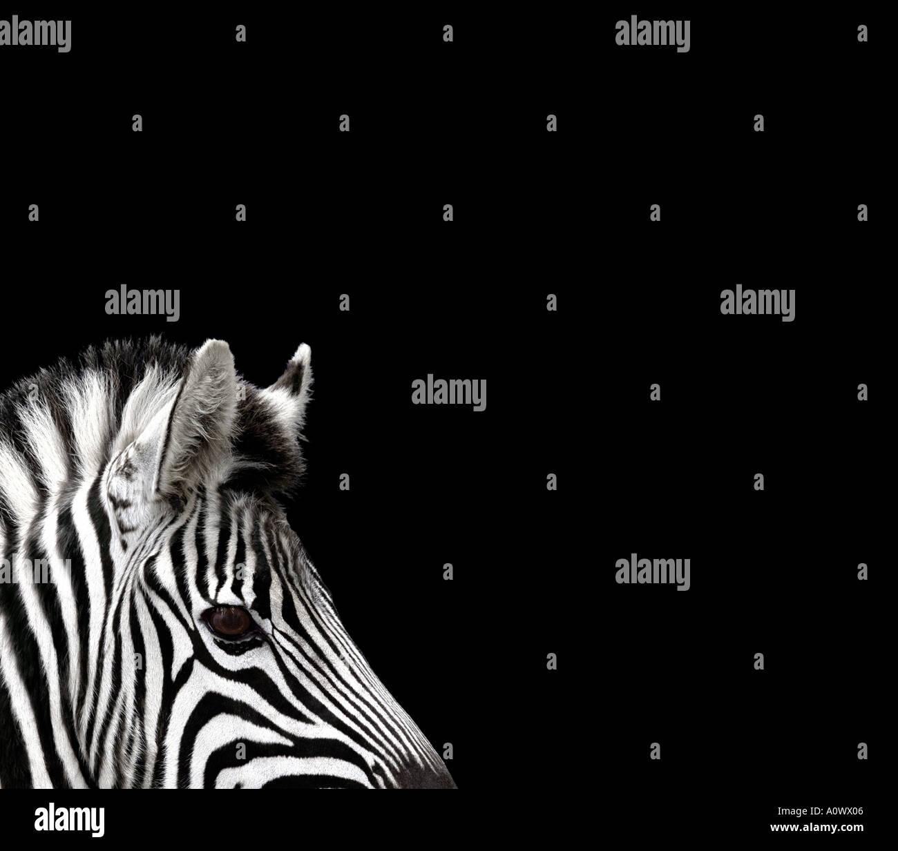 Zebra head on black - Stock Image