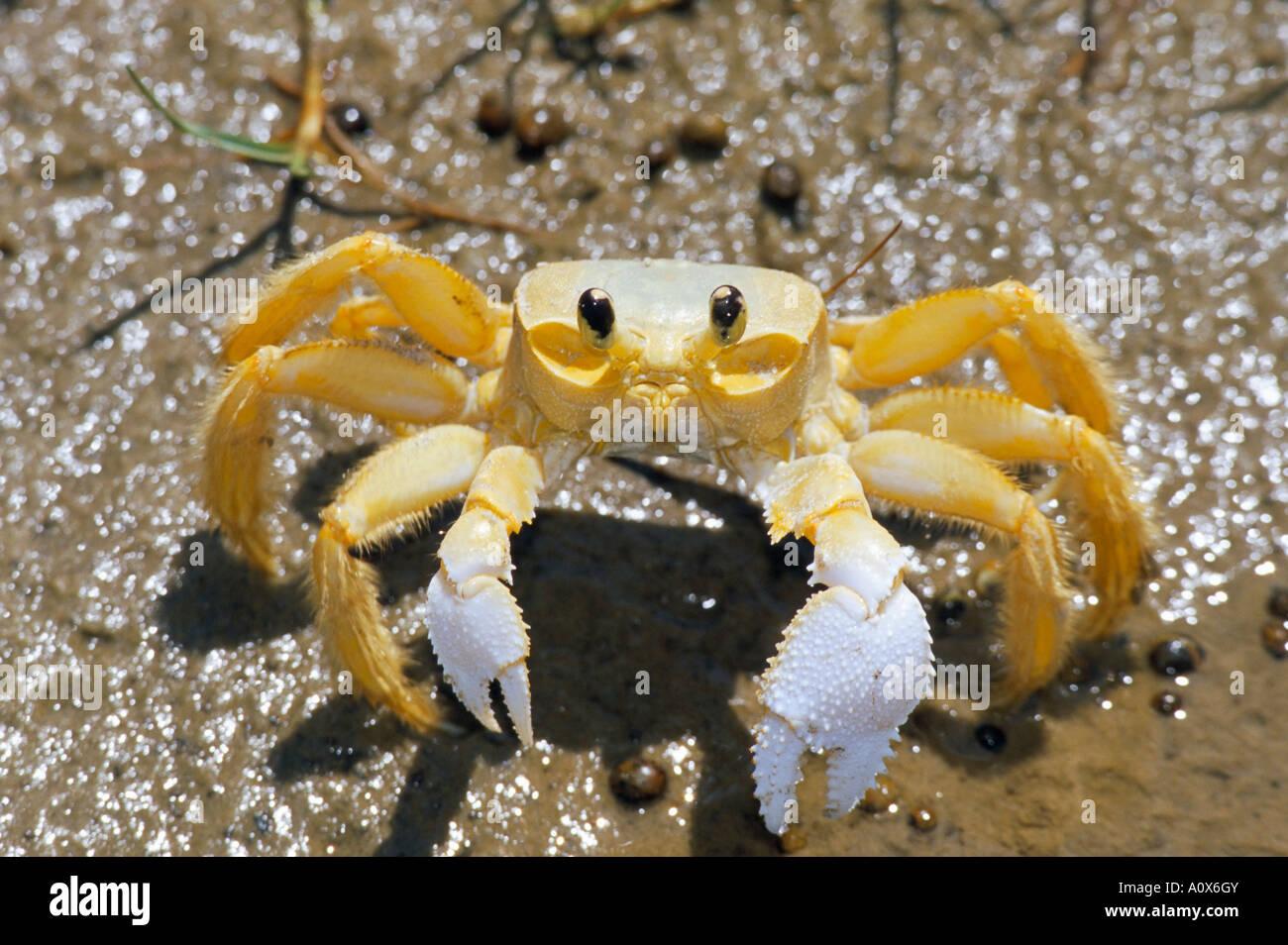 Ghost crab also known as sand crab genus Ocypode Parque Nacional dos Lencois Maranhenses Atins Lencois Maranhenses - Stock Image