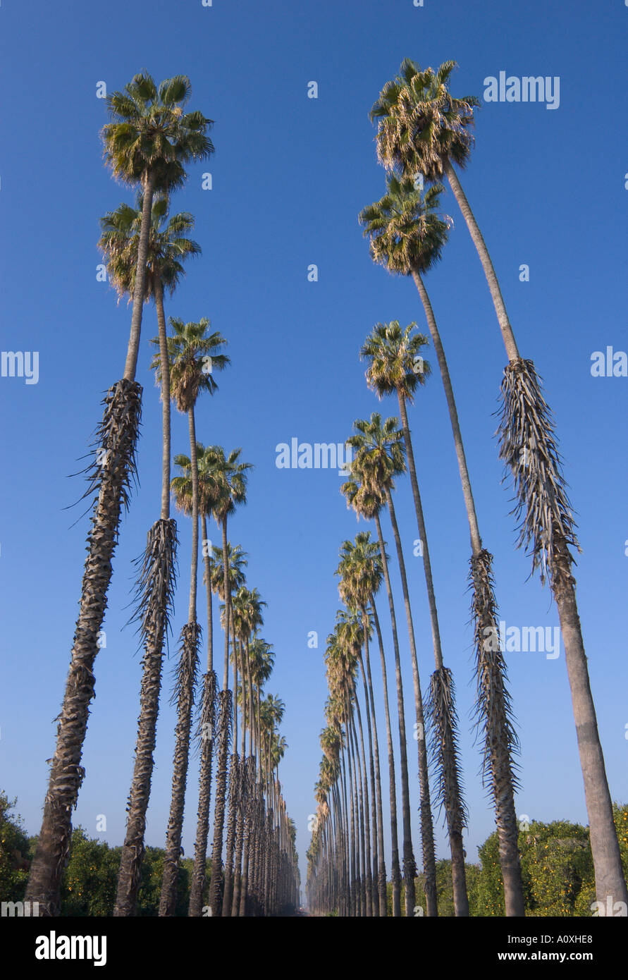 Date Where To Buy Kylie Jenner: Double Row Of Tall Old Date Palm Trees Redlands California
