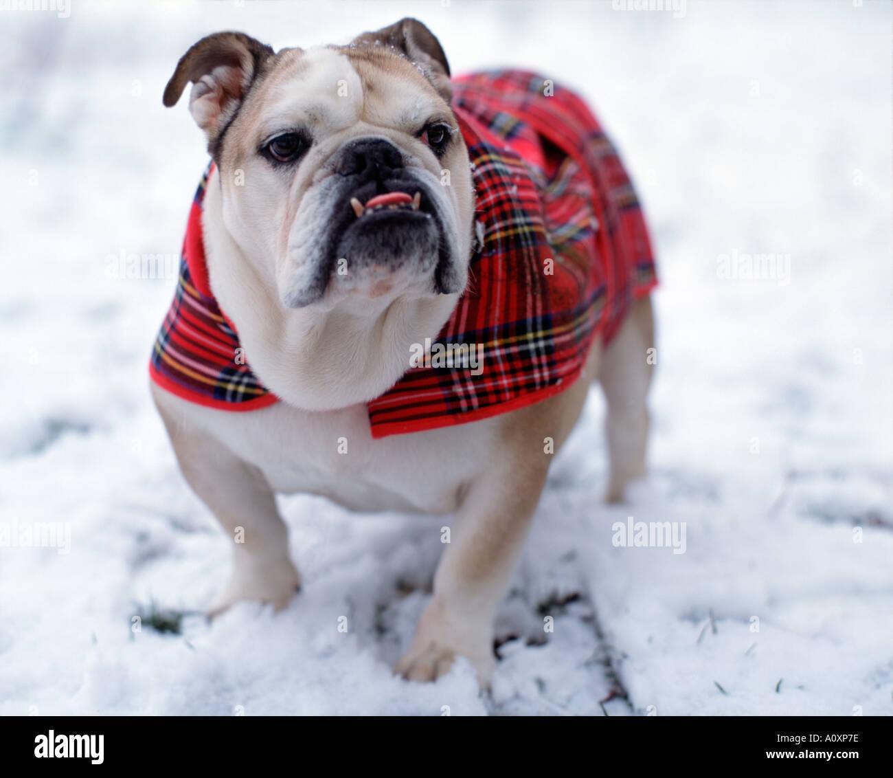 British Bulldog on walk in snow - Stock Image