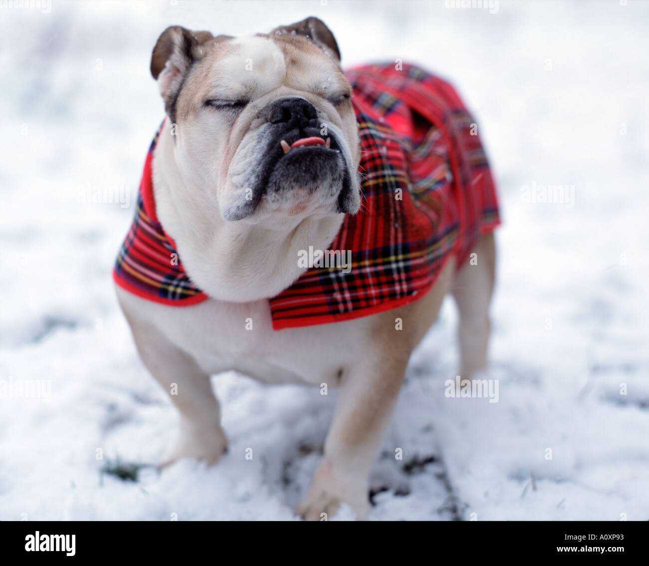 British Bulldog with eyes closed on walk in snow - Stock Image