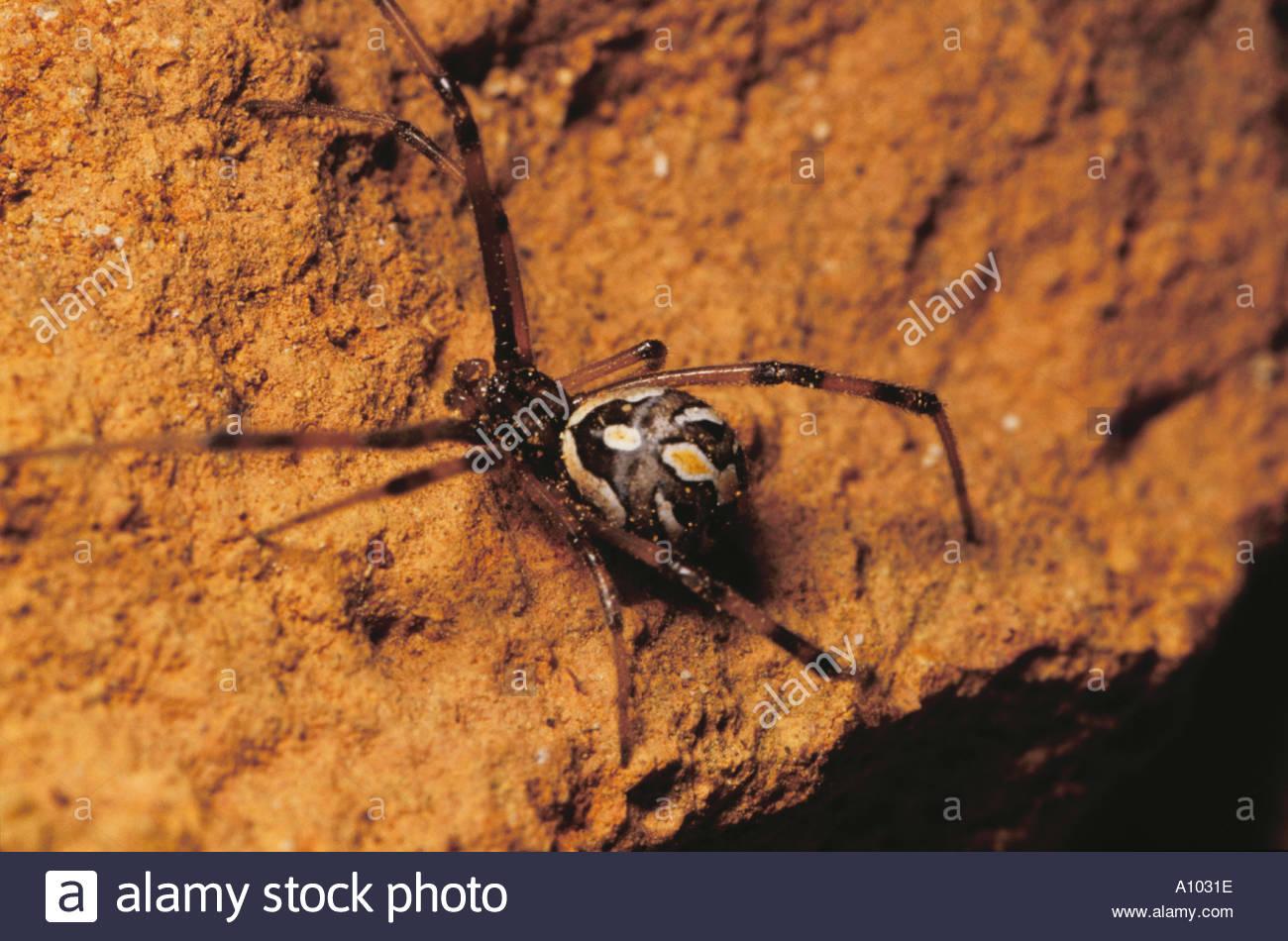 Colorful California spider Theridion aff muraruim - Stock Image