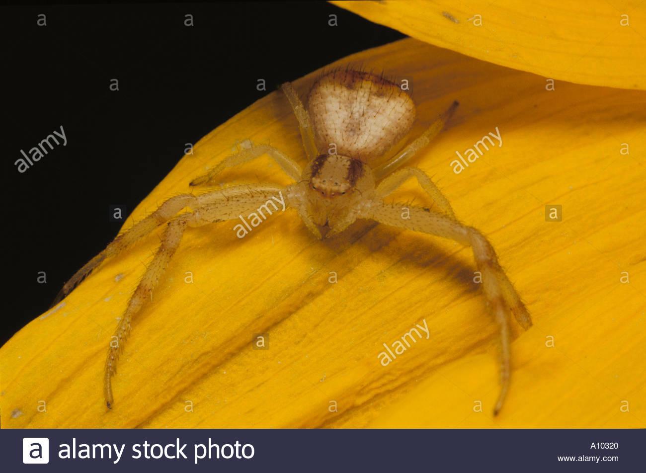 Yellow Crab Spider Misumena or similar genus - Stock Image