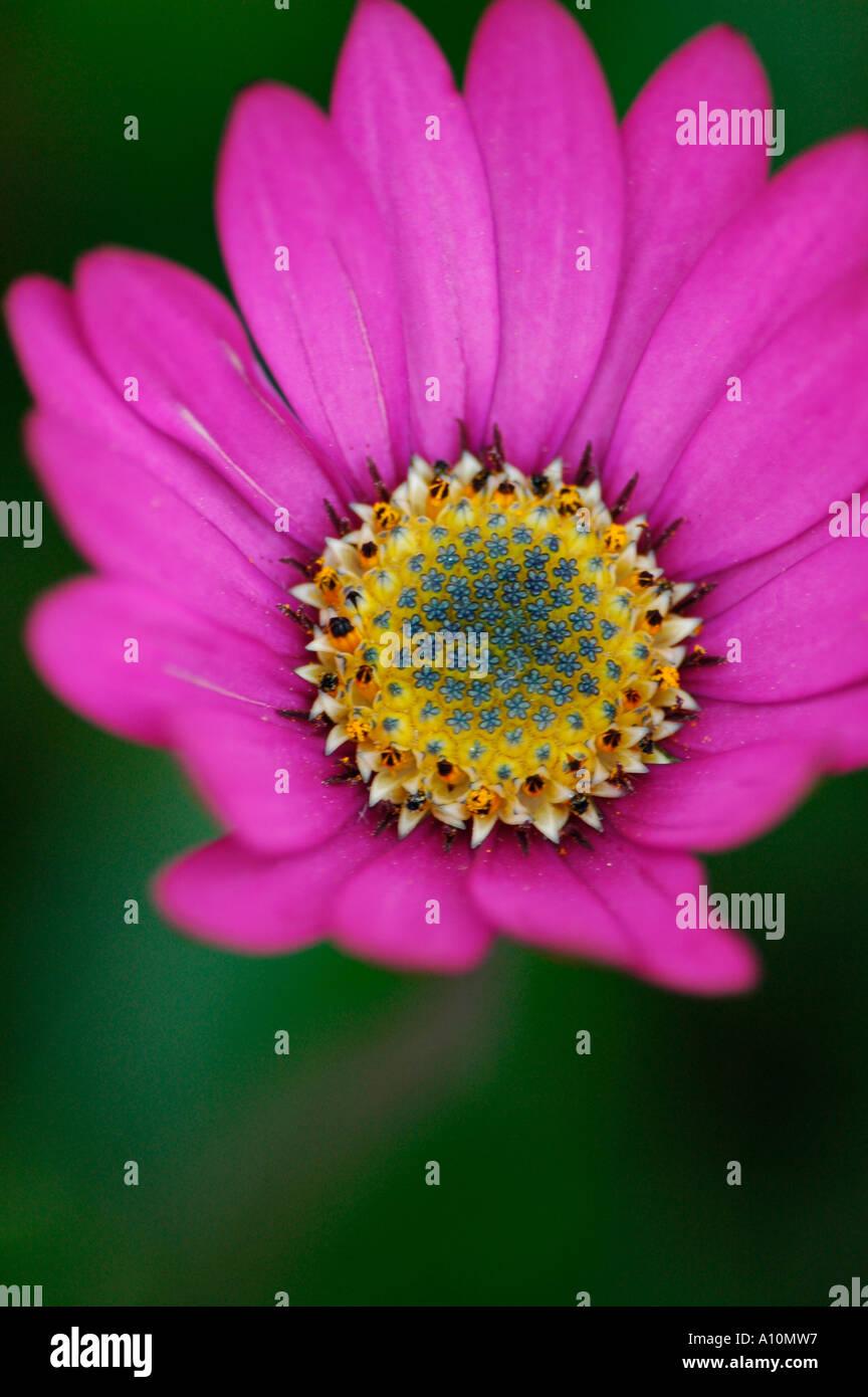 A daisy like flower growing in a garden stock photo 5774230 alamy a daisy like flower growing in a garden izmirmasajfo