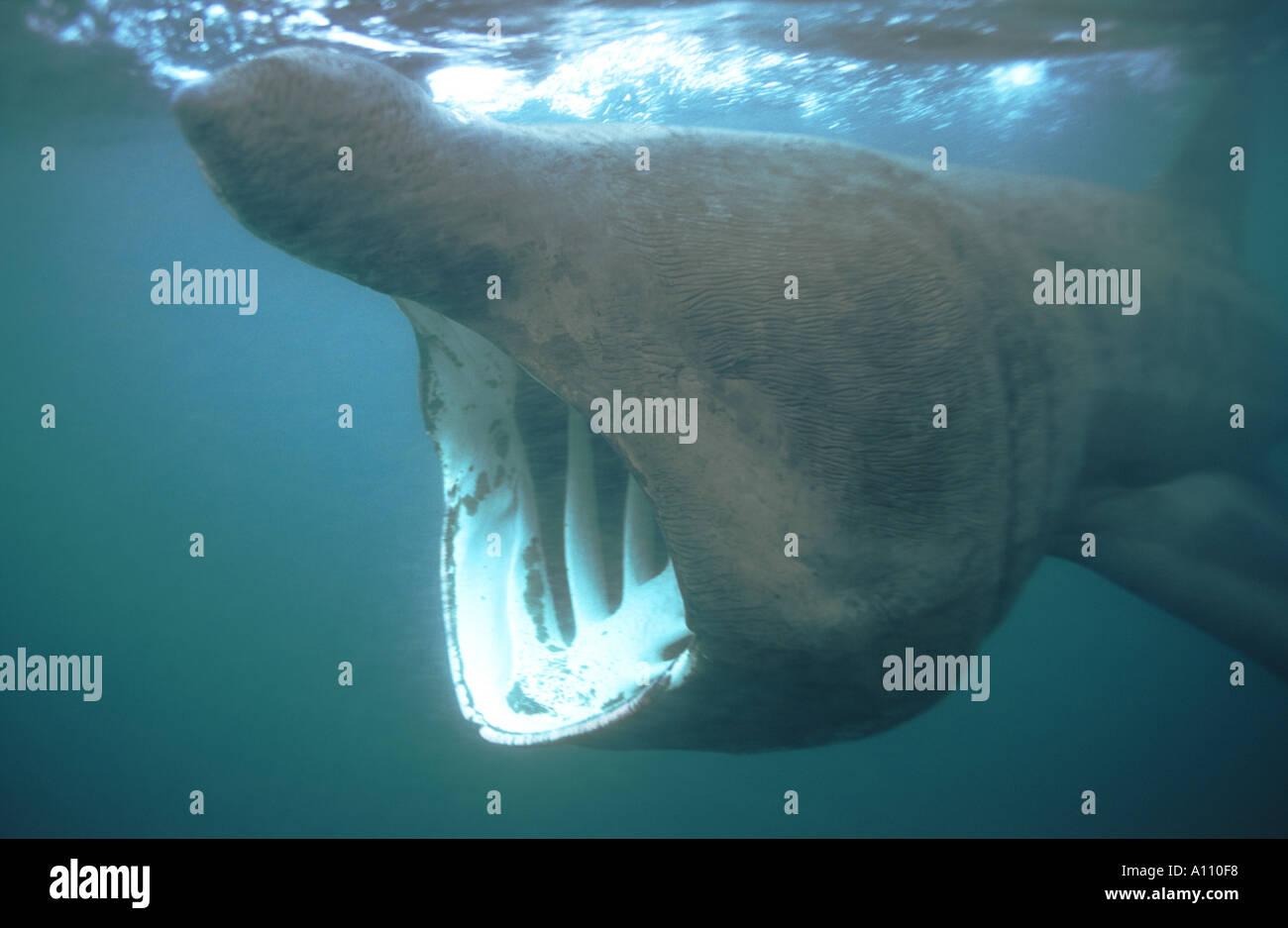 Basking Shark Coverack Bay Cornwall cetorhinus maximus - Stock Image