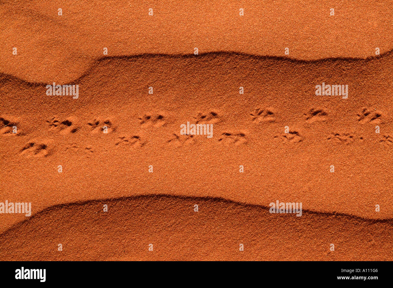 Lizard tracks in red sand dunes, Red Centre near Alice Springs, Northern Territory, Australia - Stock Image