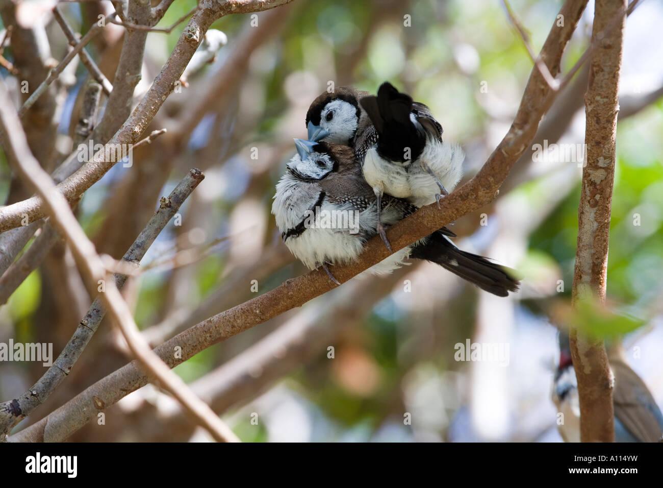 Owl Finch Taeniopygia Bichenovii Stock Photo Alamy