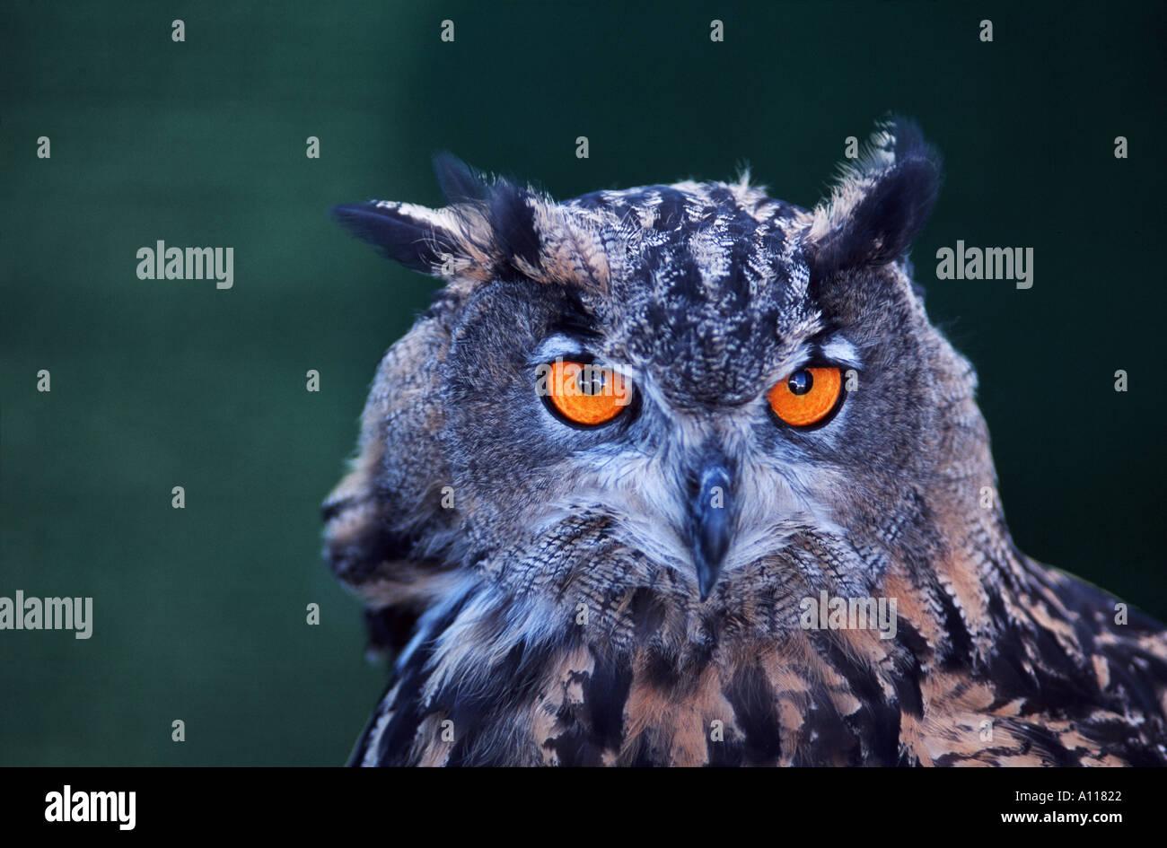 Bubo bubo European eagle owl - Stock Image