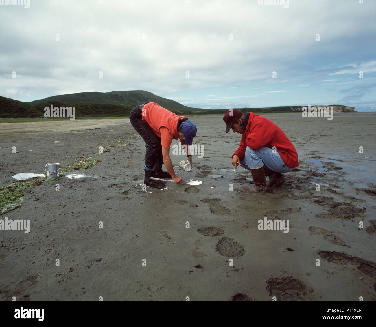 two scientists make a gips copy of a footprint of a brown bear in katmai national park alaska - Stock Image