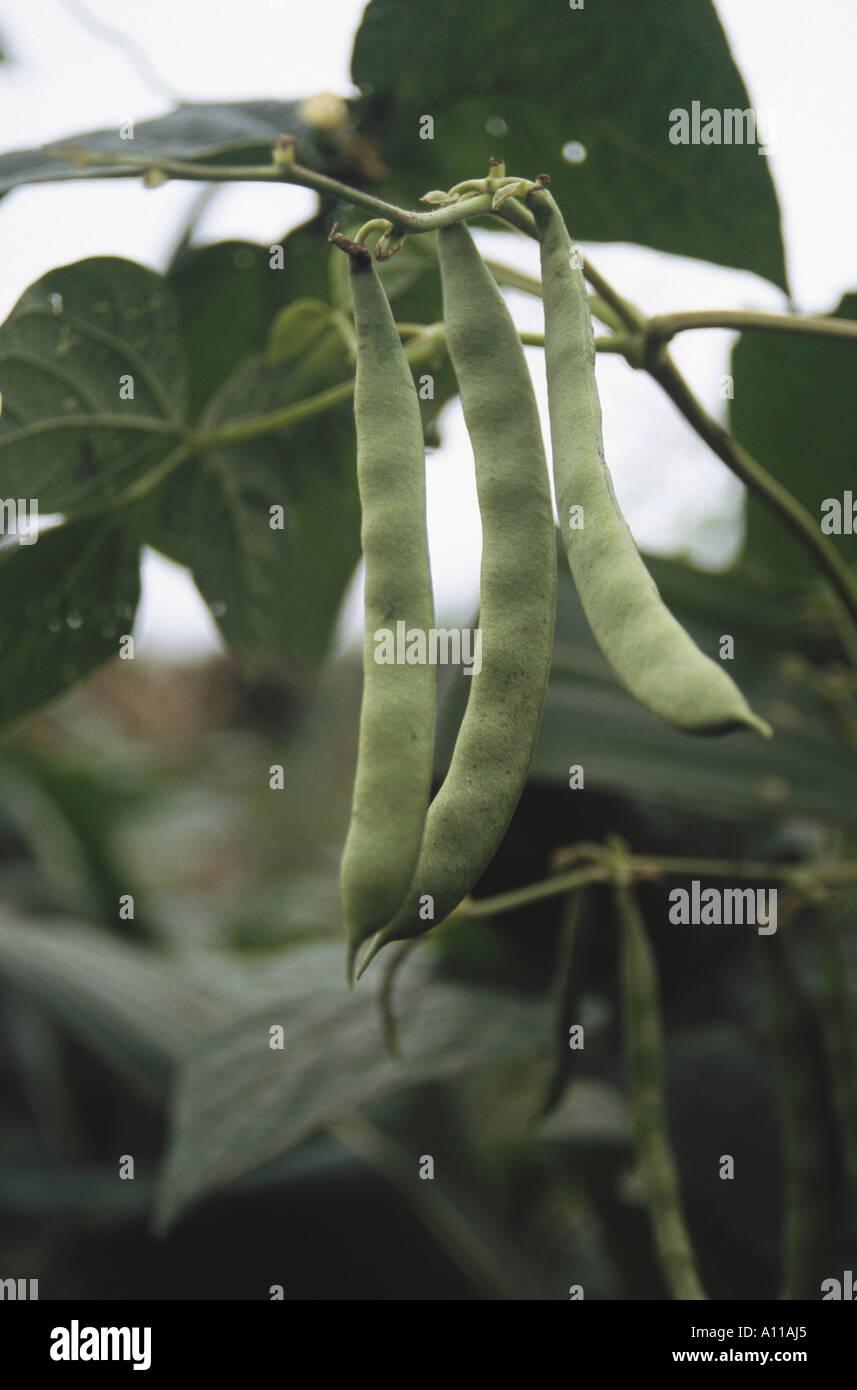 Green vegetable French Beans growing in fields at Koti near Simla Himachal Pradesh India - Stock Image