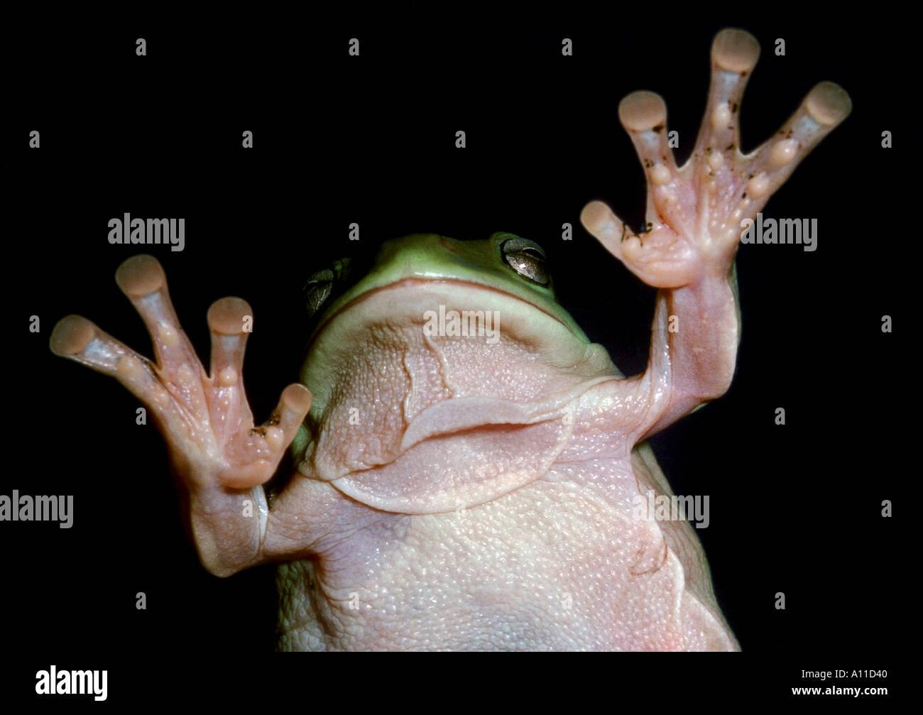 green treefrog white s tree frog from underside hand hands finger