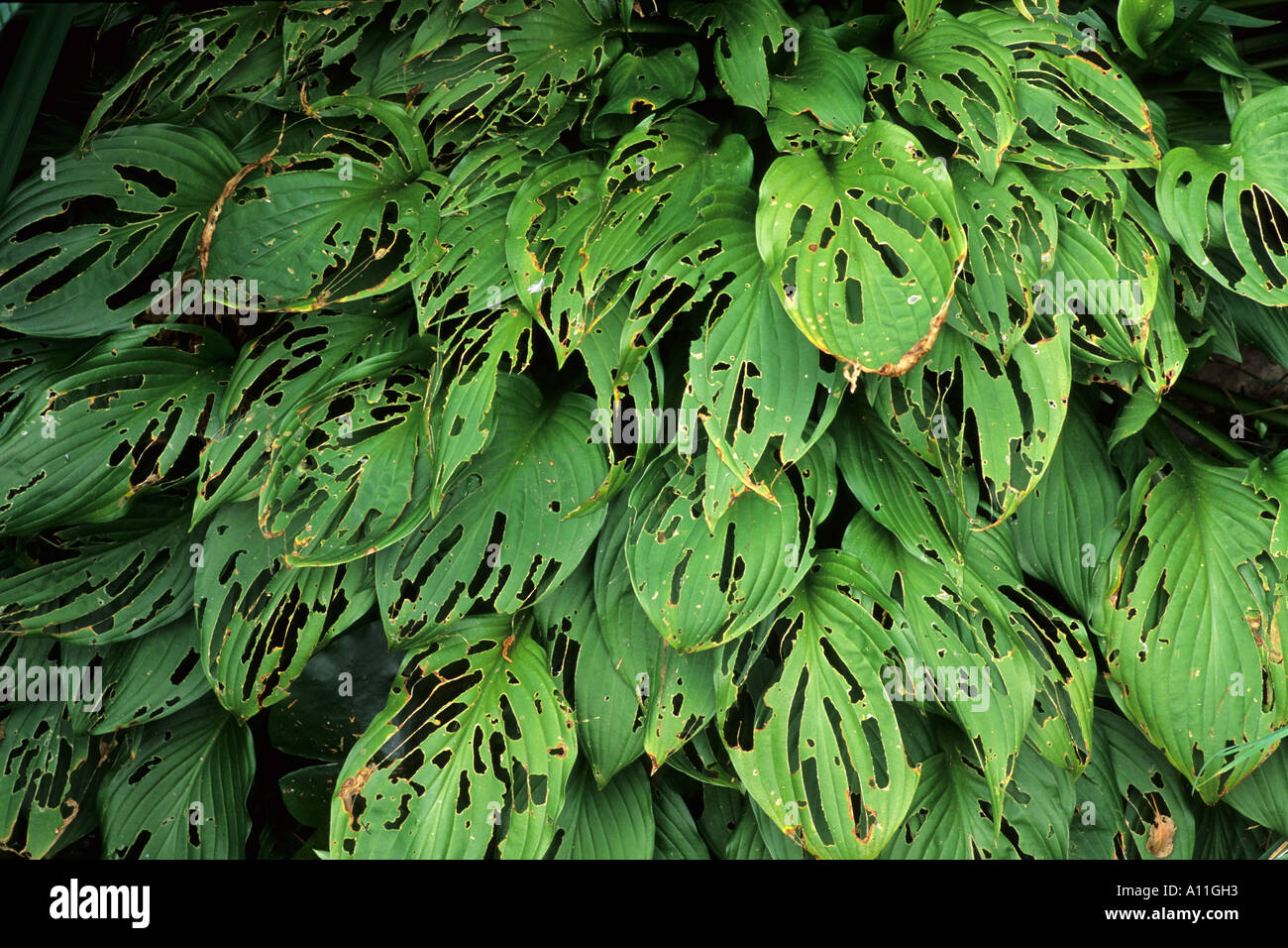 Snail Slug Damage To Hosta Leaves Garden Pests Leaf Pest Stock