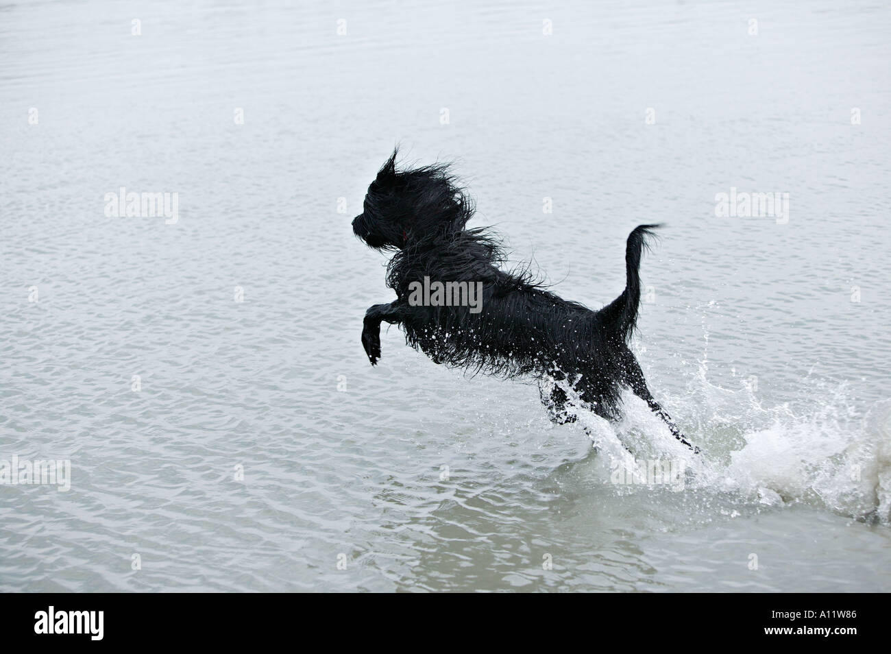 briard black dog leaping out of water while running released Stock Photo