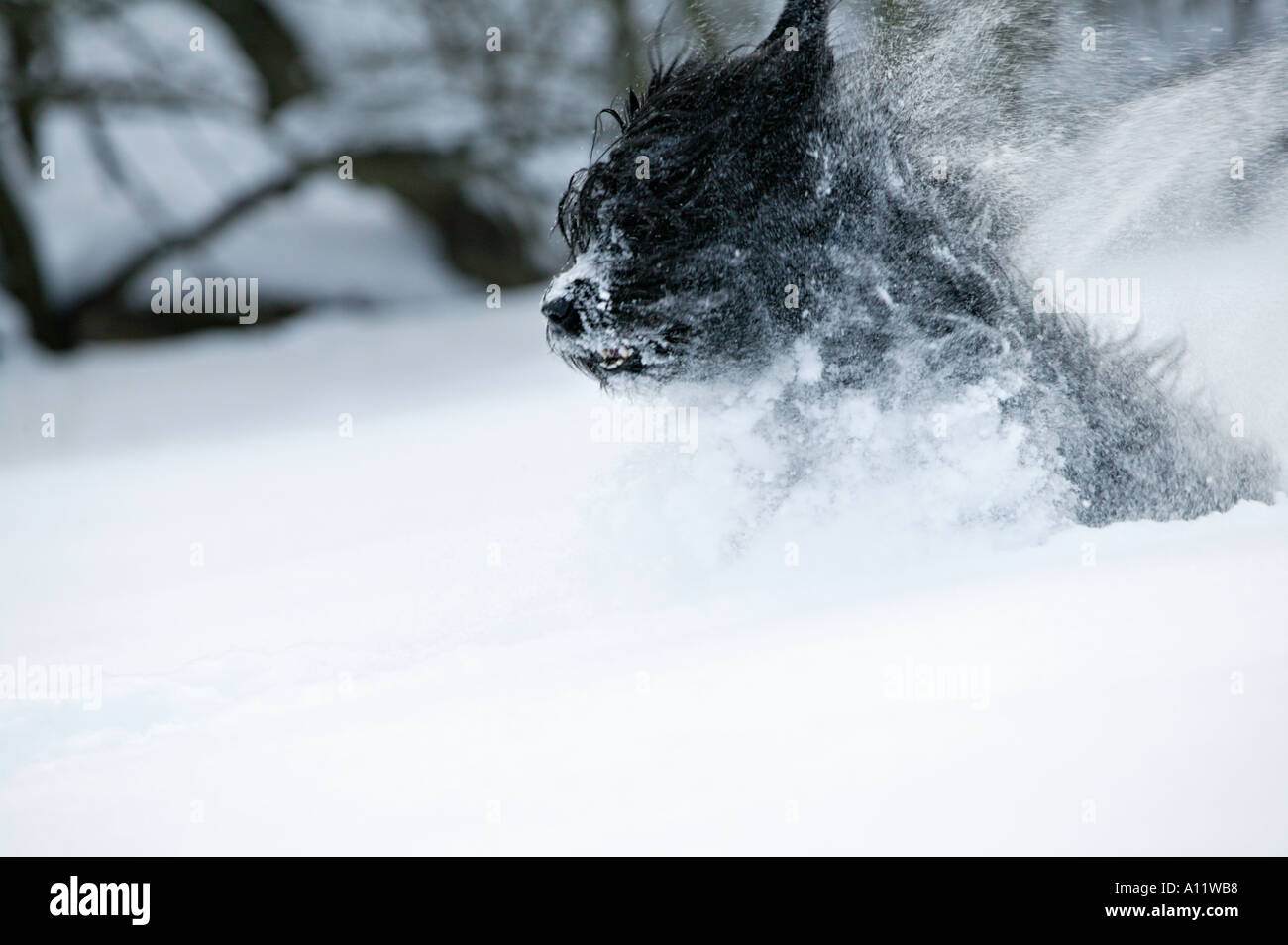 briard black dog running and jumping in very deep snow blurred action released Stock Photo