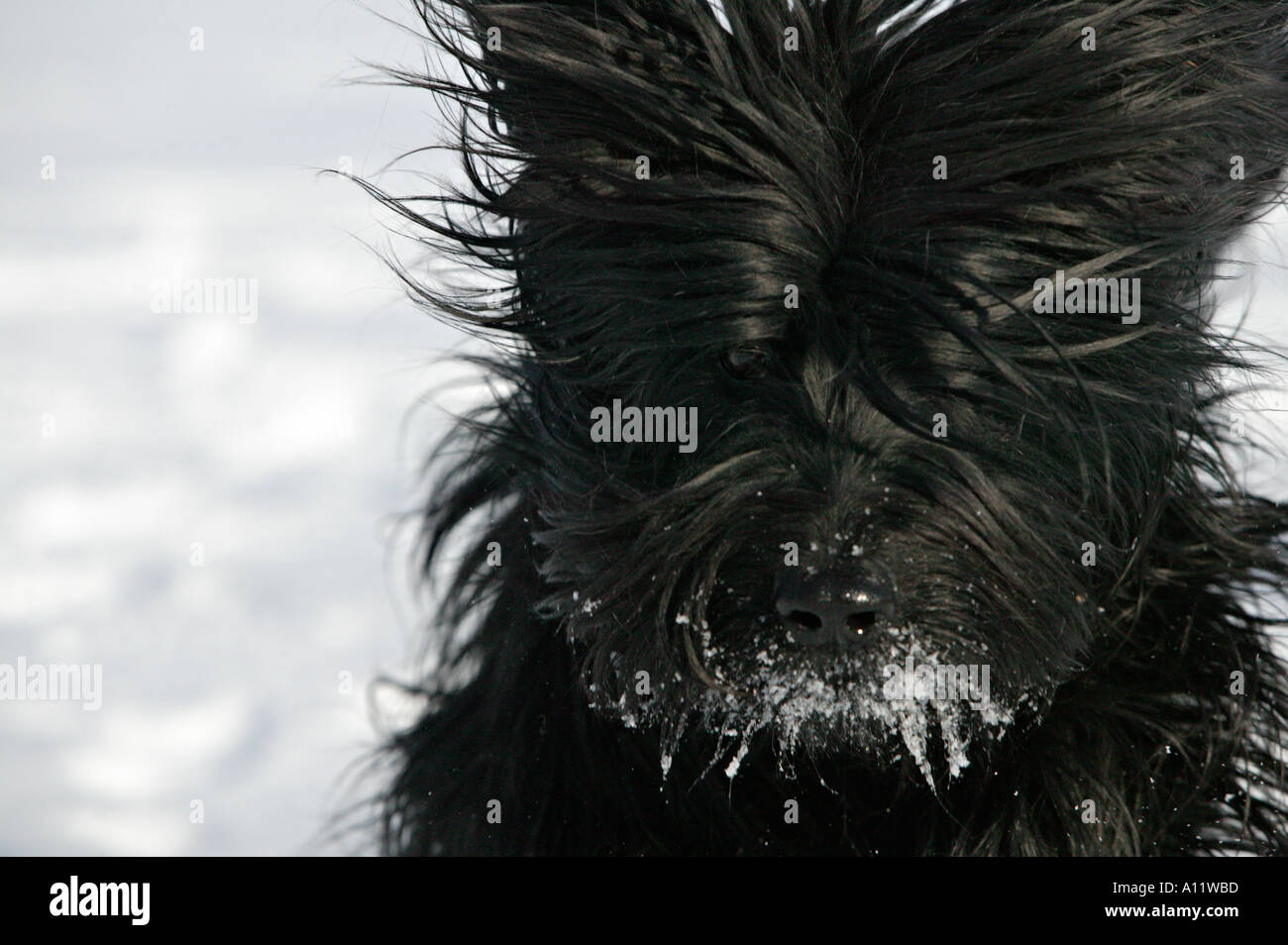 briard black dog running in snow with ice around nose and mouth blurred action released Stock Photo