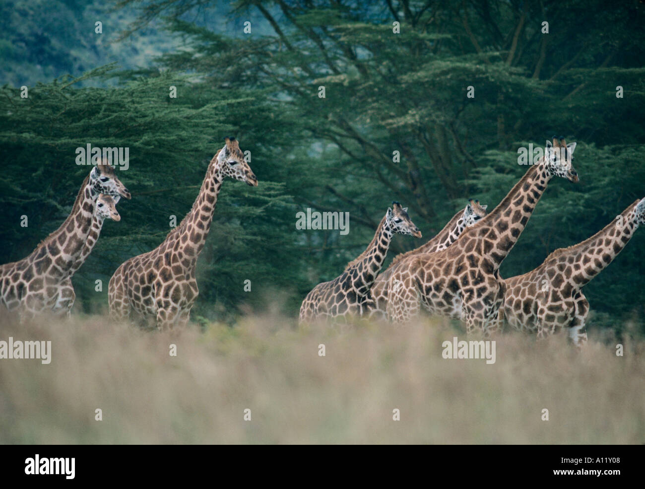 A group of Rothschild giraffe in Kenya - Stock Image