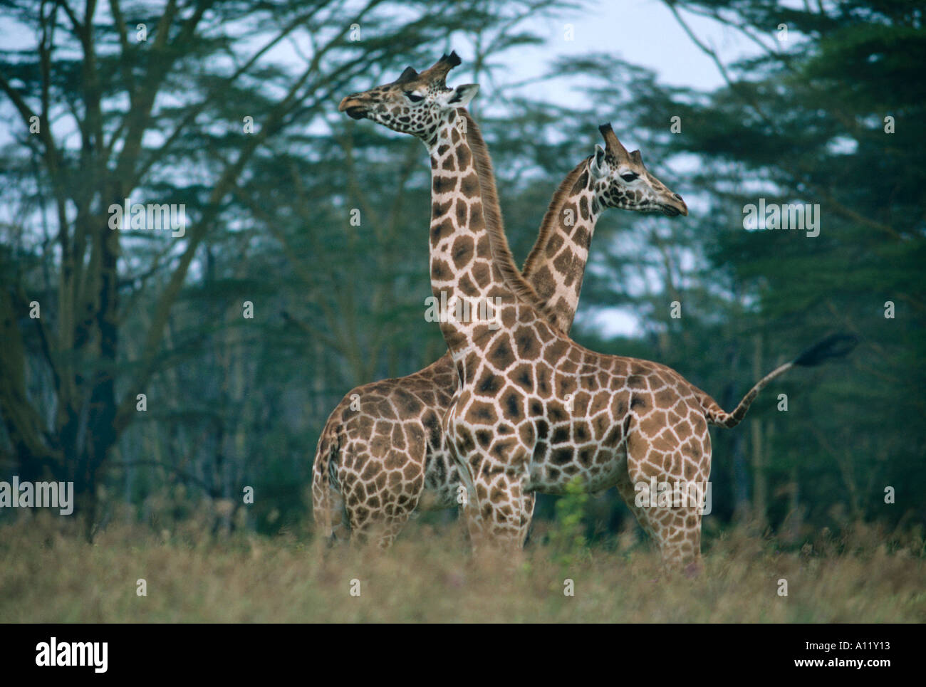 A pair of stiffly posing Rothschild giraffe in the profile stance that often precedes necking behaviour - Stock Image