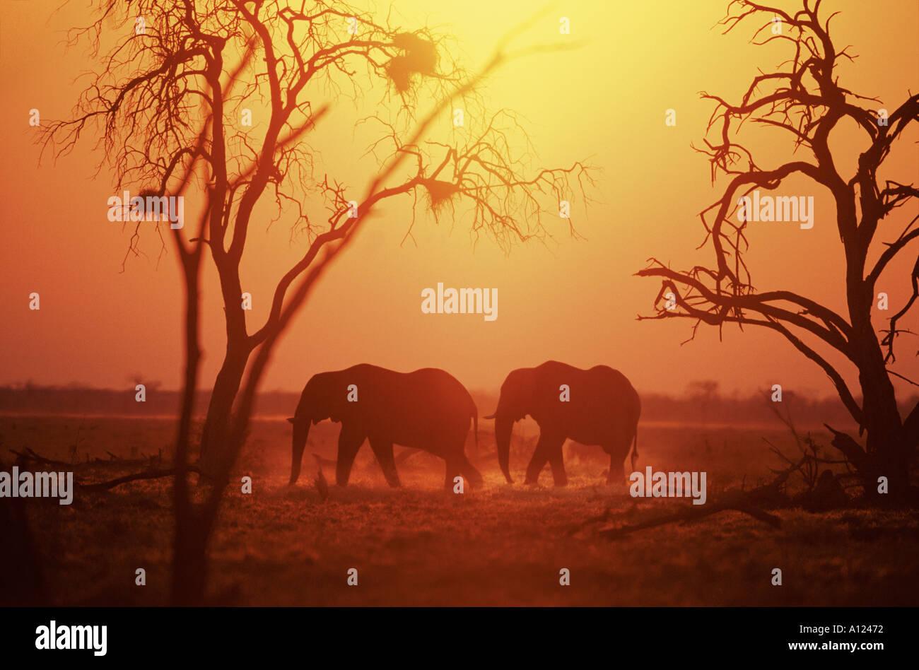 Elephants at sunrise Savute Botswana - Stock Image