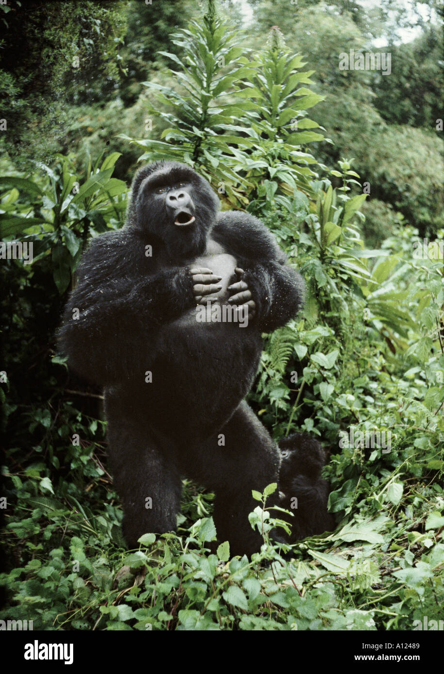 Silverback mountain gorilla beating his chest Rwanda Photographer Sjaak van den Nieuwendijk - Stock Image