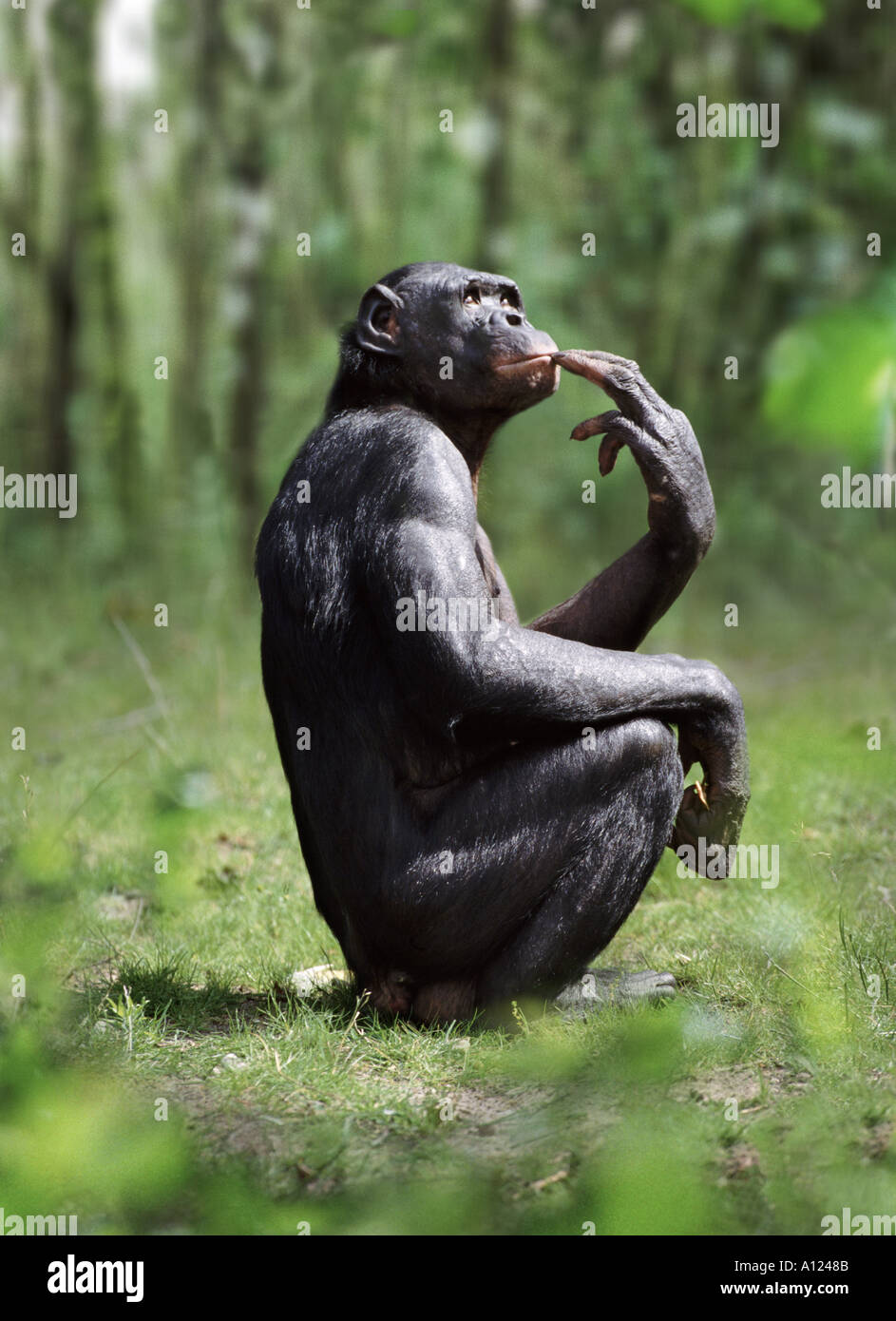 Bonobo - Stock Image