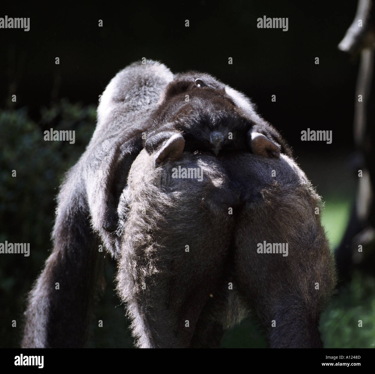 Lowland gorilla mother and baby - Stock Image