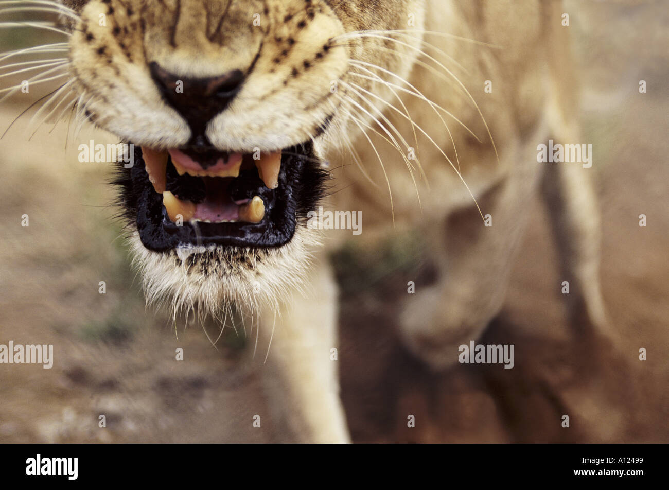 Lioness snarling South Africa - Stock Image