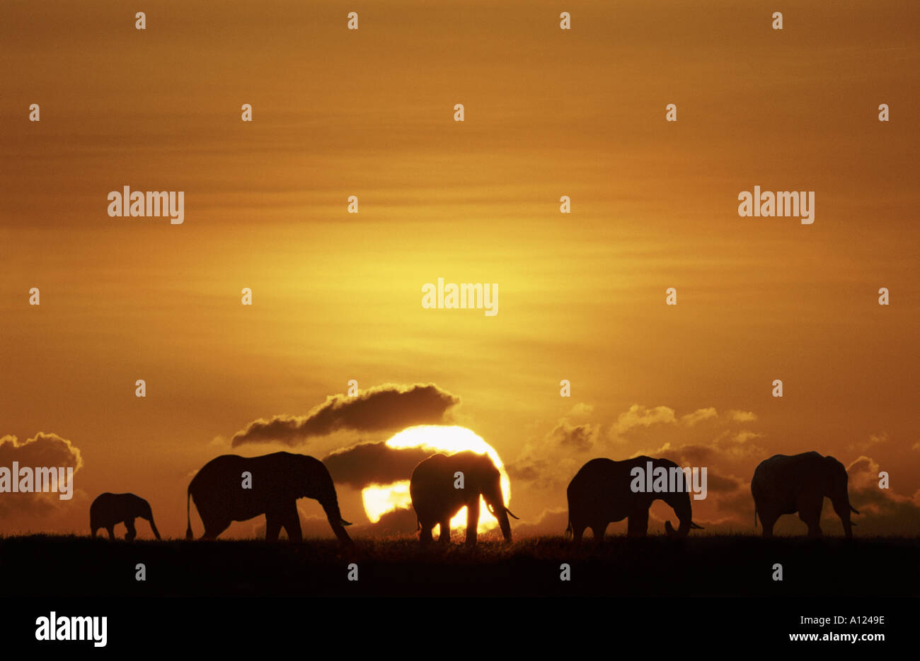 Elephants silhouetted against the rising sun Masai Mara Kenya - Stock Image